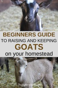 Raising Goats as a beginner