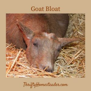Goat bloat
