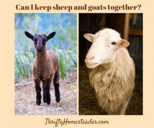 sheep and goats living together