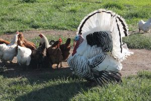 chickens and turkeys together
