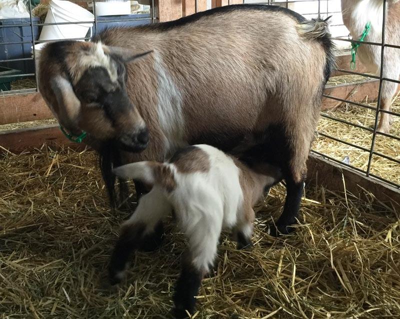 baby goat nursing