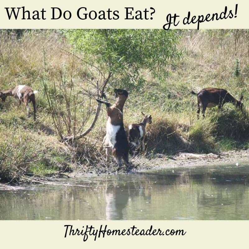 what do goat eats
