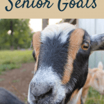 caring for senior goats