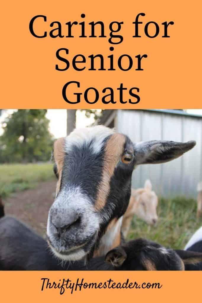 senior goats