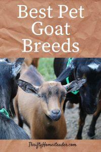 pet goat breeds