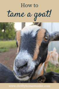How to tame a goat pin