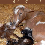 Goat pregnancy and grains Pin