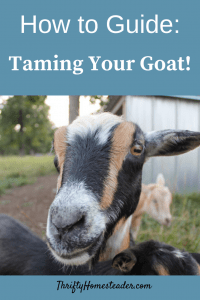 How to Guide: Taming Goats Pinterest