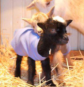 baby goat in coat