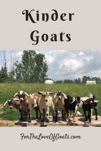 Kinder Goats