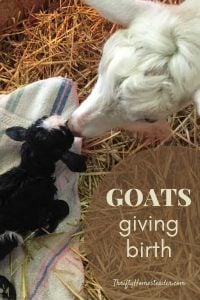 Goats giving birth