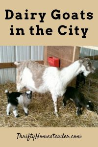 dairy goats in the city