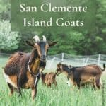 Rare San Clemente Island goats