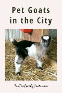 Pet Goats in the City