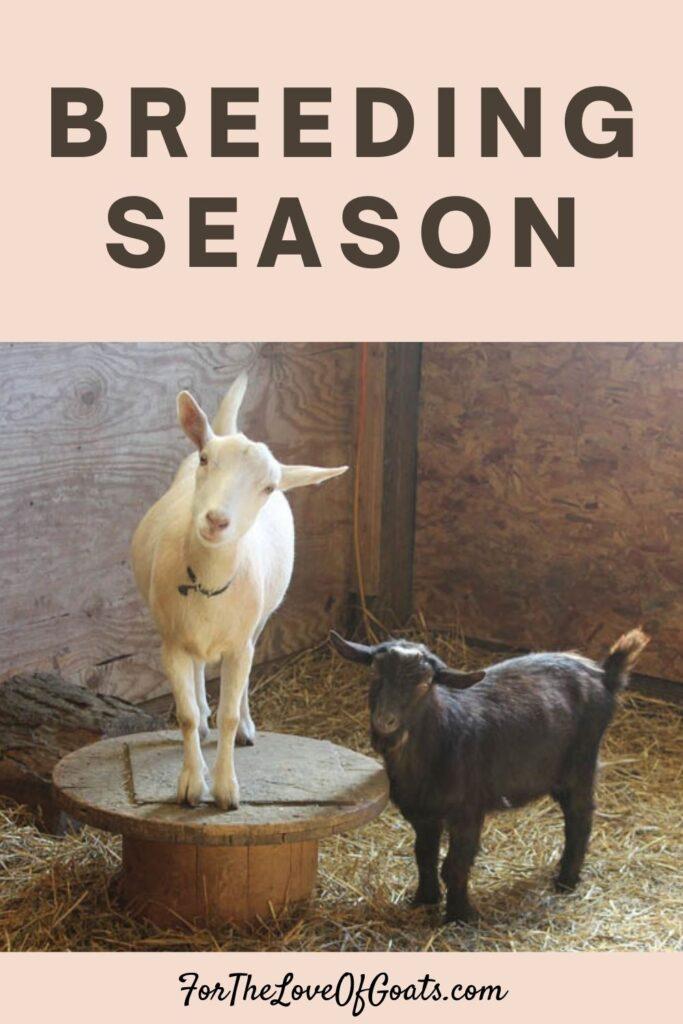a doe and a buck ready for breeding season