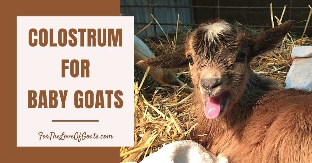 Colostrum for Baby Goats