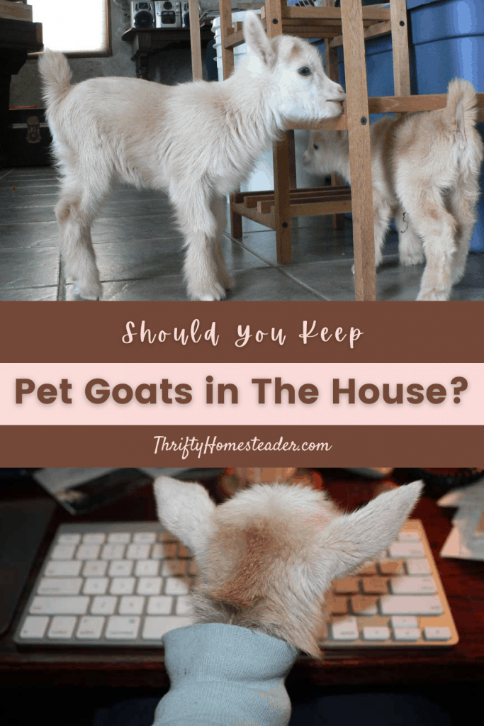 Should You Keep Pet Goats in The House?