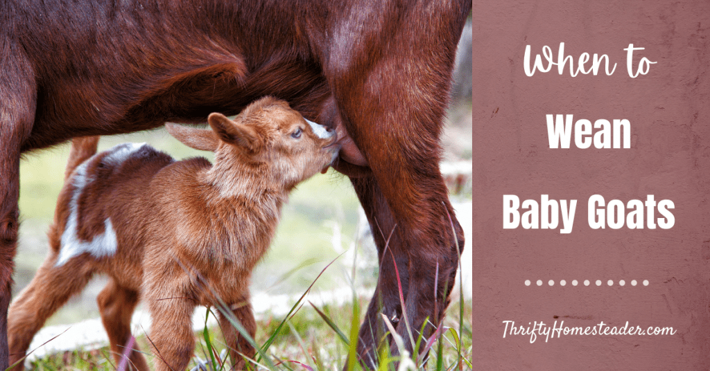 When to Wean Baby Goats
