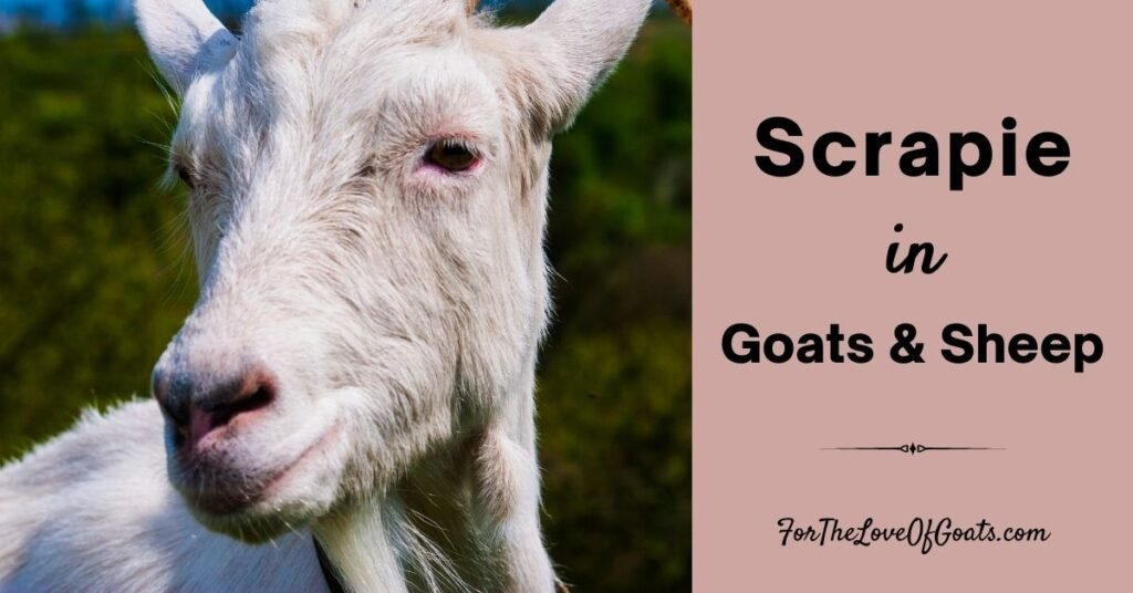 Scrapie in Goats and Sheep