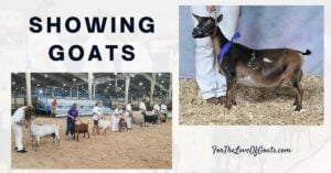 Showing Goats