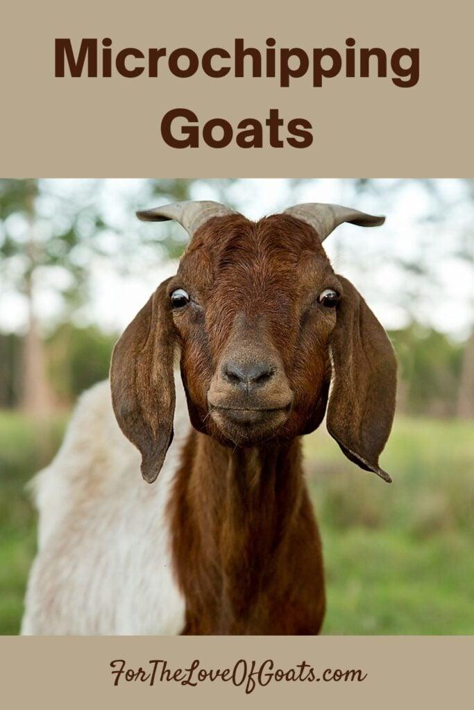 Microchipping Goats