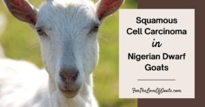 Squamous Cell Carcinoma in Nigerian Dwarf Goats